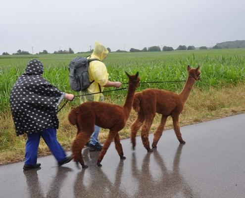 OBA Wanderung mit Alpakas